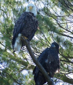 Adult bald eagle with immature in southern nesting tree June 2016 by Eleanor Knieriemen