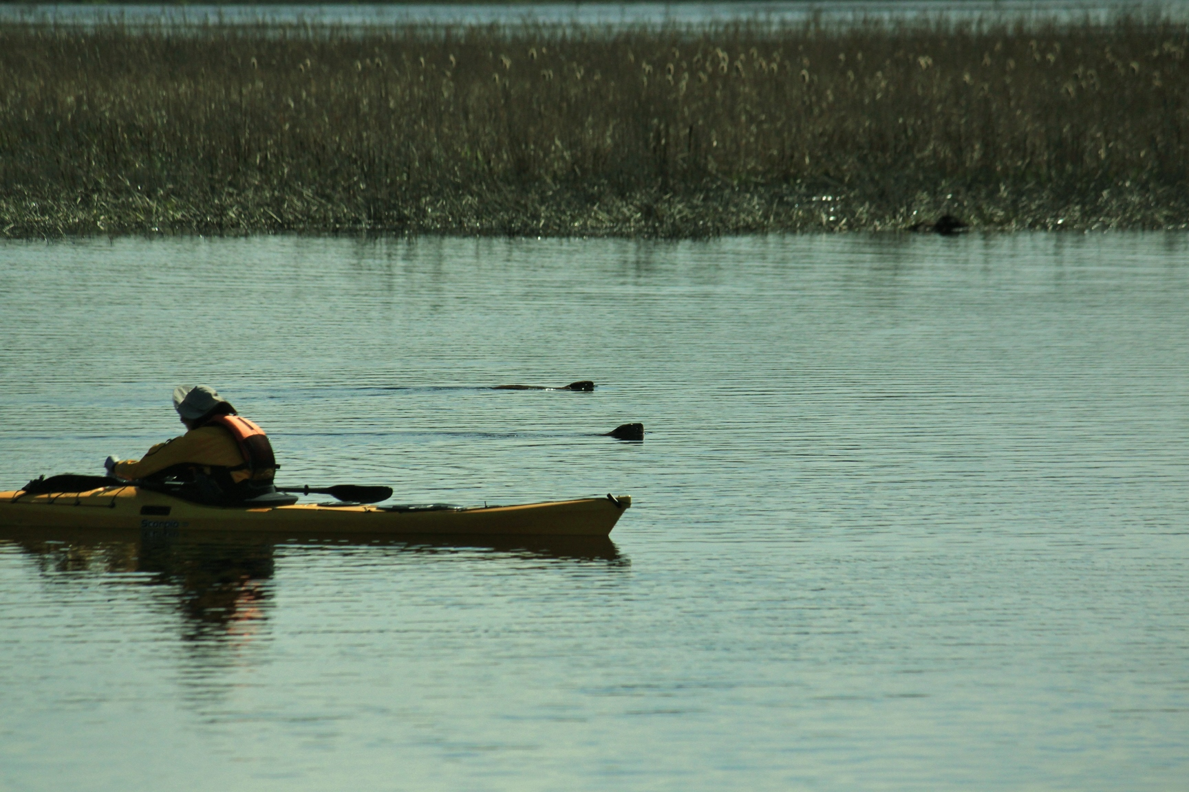 Kayaker with beavers swimming along side by Justin Schmidt 2015