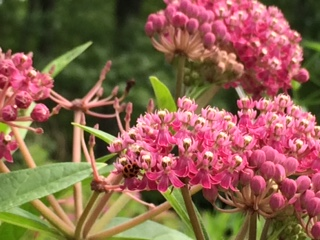 Swamp milkweed by Maryallison Farley July 2016